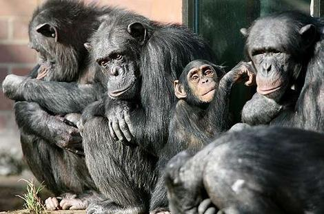 chimpanzees_wideweb__470x311,0
