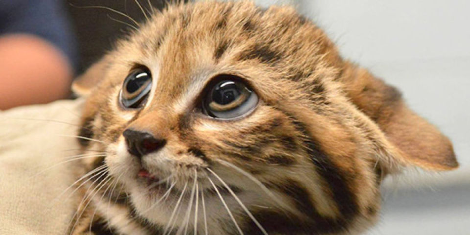 o-BLACK-FOOTED-CAT-KITTENS-facebook-1200x600-960x480